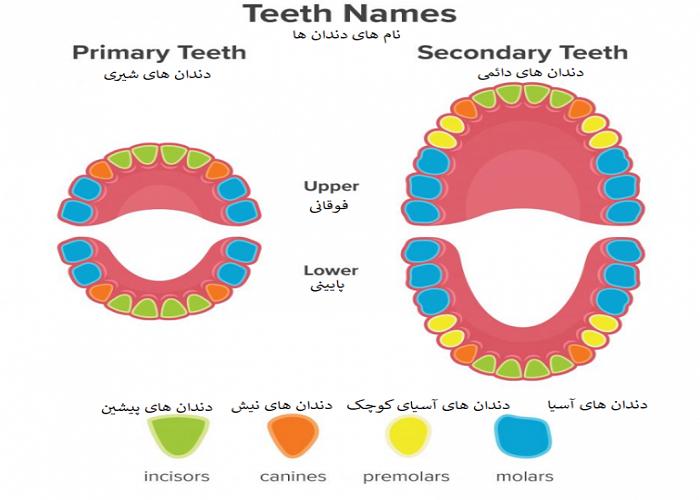 دندان های انسان