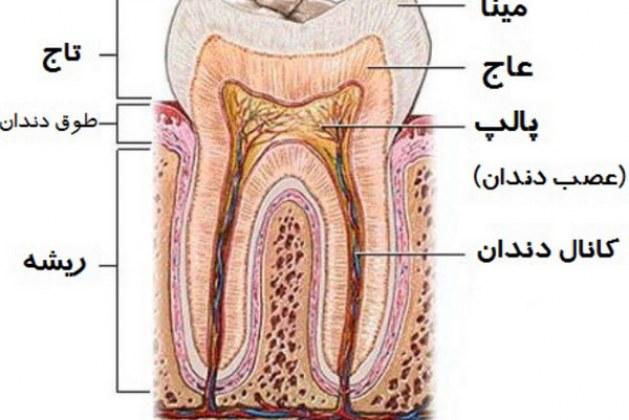 عاج دندان و ساختمان آن